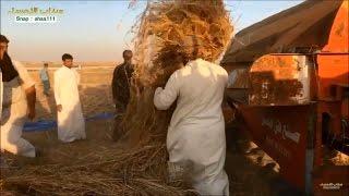حصاد العيش الحساوي المرحلة الثانية   سناب الاحساء