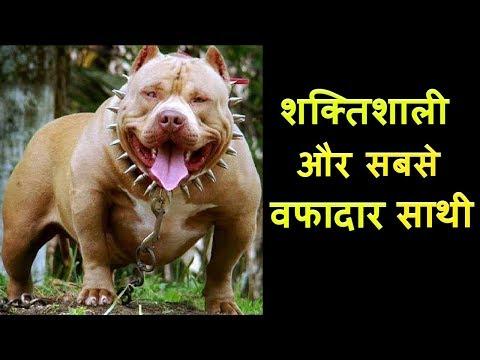 Xxx Mp4 DANGEROUS DOG BREEDS खतरनाक कुत्तों के बारे में जाने XtraGyanTv 3gp Sex