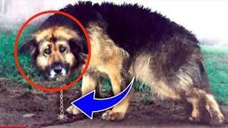 आखिर क्यों 10 साल तक इस कुत्ते को चेन में बांधकर रखा गया !!  रोना आ जायेगा  !! Emotional story