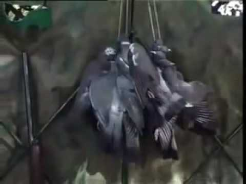 caza paloma con cimbel 1ª parte