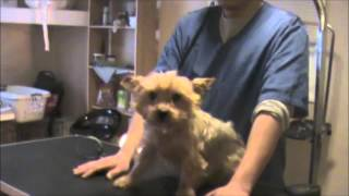 Grooming an Aggressive Yorkie (Yorkshire Terrier): Part 1