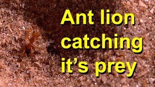 An antlion catching its prey