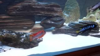 Labidochromis spec. Kimpuma red