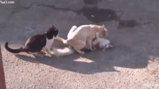 Mating10   Cat Mating Success(new)