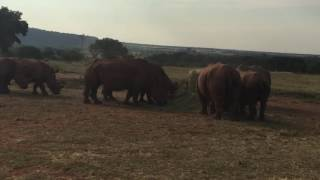 White Rhinoceros vocal sounds and calls. All in one video.