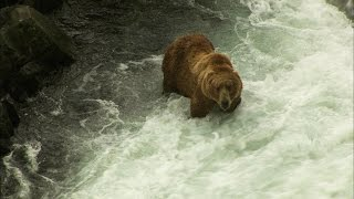 How Much Salmon Can a Kodiak Bear Devour?