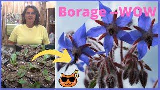 Transplanting Borage Herb Seedlings  Indoors