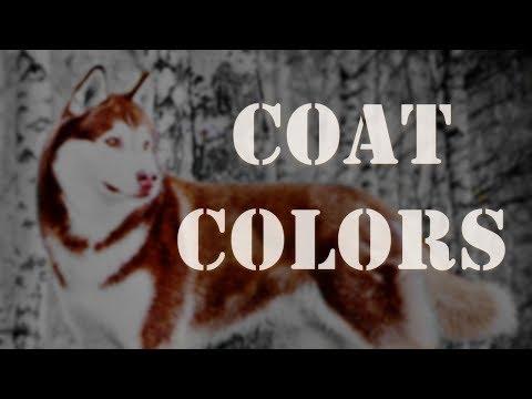 Coat Colors Siberian Husky