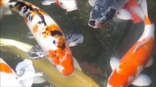 Budidaya Ikan Mas Koi Dapat Puluhan Juta Perbulan