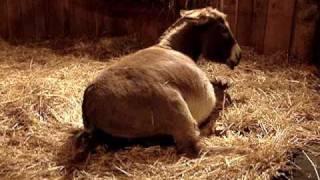 Miniature Donkey HHAA Halo
