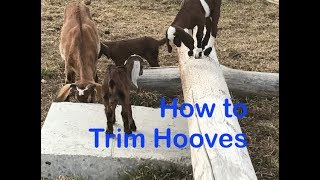 How to Trim Goat Hooves: ABC acres- episode  #097