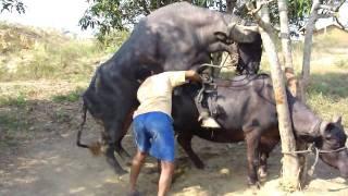 Buffalo Bull Mounting