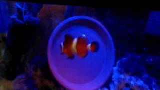 Clownfish Breeding Saga... Mai is back in her tank with her new boy toy. Doing better than last time