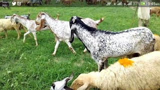 Modern goat farming in pakistan/