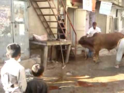 Qurbani by anari jahil qasai zulm on cow 2011