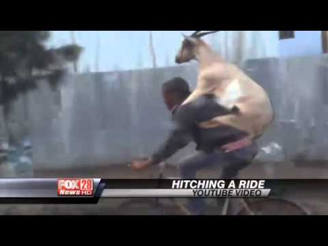 Video You Have To See: A Goat Riding a Guy Riding a Bike