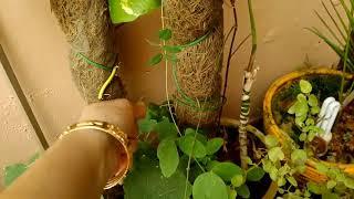 Aparajita🐸Clitoria ternatea को🐣 SEEDS से लगाने का 😵तरीका//Best AYURVEDIC & Medicinal plant