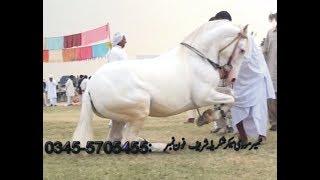 best horse dance in pakistan/shakrila No.4