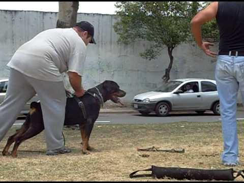 Entrenando perro protector Attack Guard Dog Training