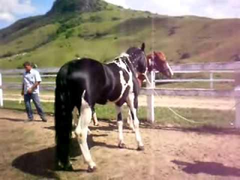 Cruzamento de cavalo pampa de preto com égua pampa de castanho