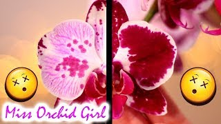 A flower with 2 'faces'! - Interesting Phalaenopsis Orchid find