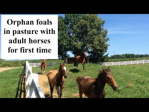 Xxx Mp4 Orphan Foal Pasture Turn Out With Adult Horses 3gp Sex