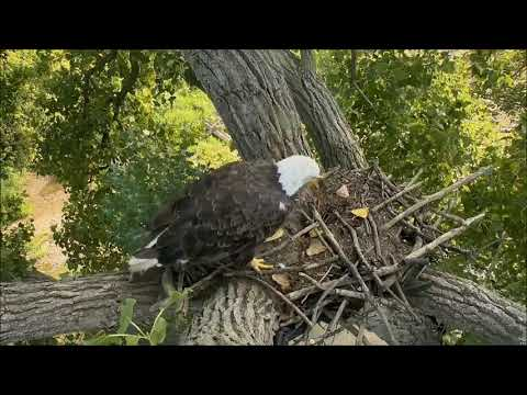 Xxx Mp4 Decorah Eagles Mom Spends Time On Old Nest Soft Vocals 3gp Sex