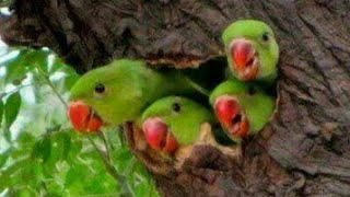 PARROT TALKING IN HINDI AND WHISTLING 2016!VERY CUTE MUST SEE