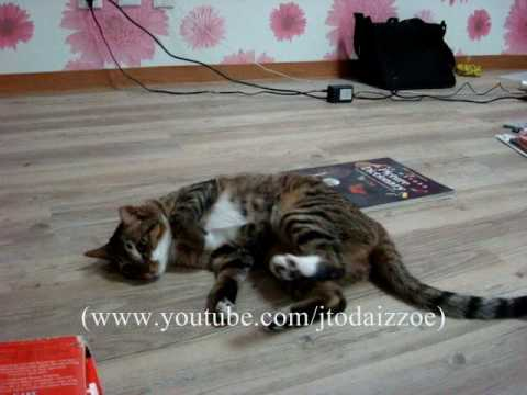 Xxx Mp4 CAT CAN ROLL OVER 3gp Sex
