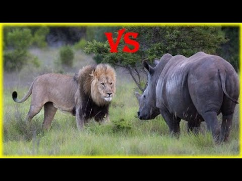 Animal Fight to Death Lion vs Rhino Real Fight in Jungle Struggle to Survive