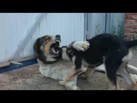 Xxx Mp4 LITTLE PUPPY ATTACK BIG DOG 3gp Sex