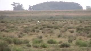 caça de lebre en sta vitòria do palmar:rs
