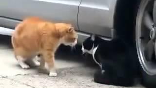 Kucing perang