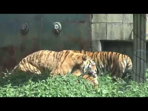 Gay tigers