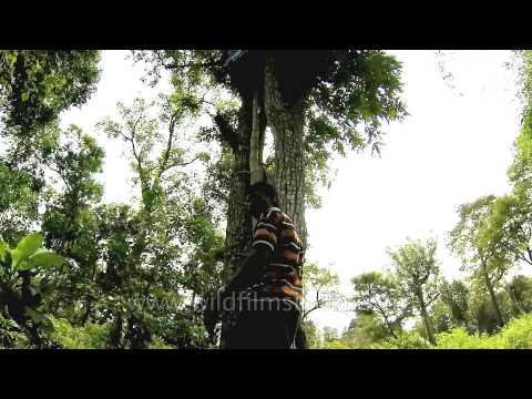 Xxx Mp4 Indian Tribal Man Climbing Up To His Tree House 3gp Sex
