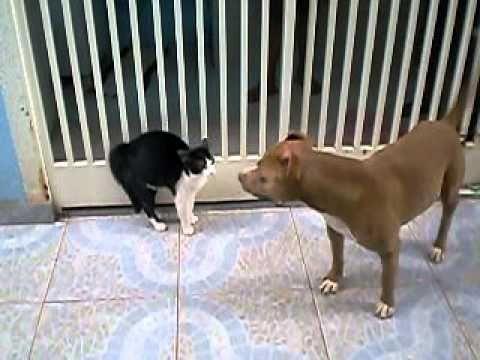 Isso que é briga. pit bull contra gato
