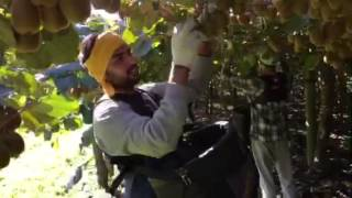 kiwi fruit picking new zealand