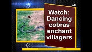 Watch: Dancing cobras enchant villagers - Odisha News