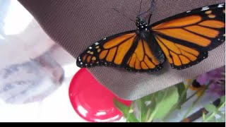 Butterfly Monarch video, he's free from chrysalis. Determine his sex