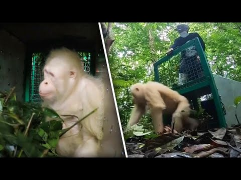 Xxx Mp4 Albino Orangutan Released Into Wild After Being In Captivity 3gp Sex