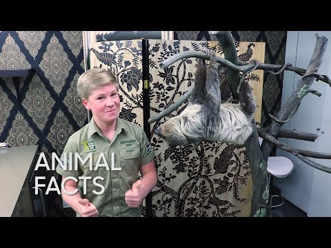 Animal Facts with Robert Irwin: Two-Toed Sloth