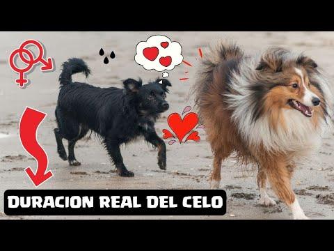 Cuanto dura el celo de un perro Jose Arca