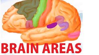 Functional Brain Areas - Brain Anatomy Cortex