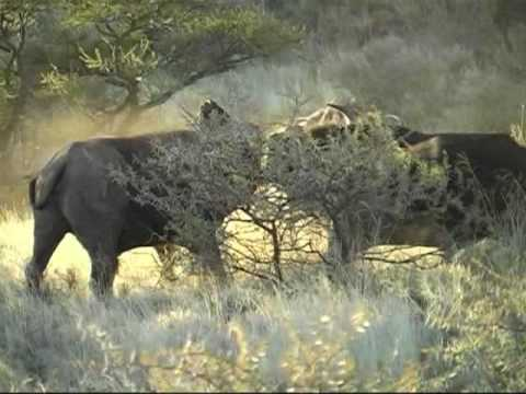 Spectacular Buffalo fight Mokala South Africa
