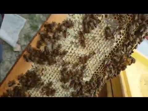Jurnal apicol echinoctiul de primavara 2016 part. 2