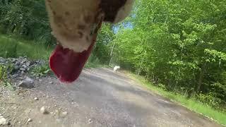 Dog Entertainment - Dog Relaxation - Dog Music  - Husky Dog Zarro Films FreeRanging