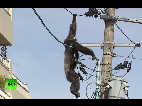 Xxx Mp4 Dramatic High Altitude Chase As Chimp Goes On The Loose In Japan 3gp Sex