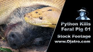 Python Kills Wild Boar 01 Stock Footage