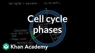 Cell cycle phases | Cells | MCAT | Khan Academy