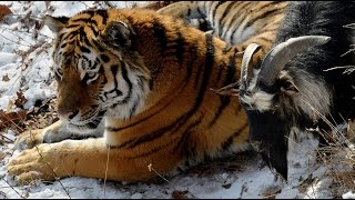 Russian tiger befriends brave goat instead of eating it